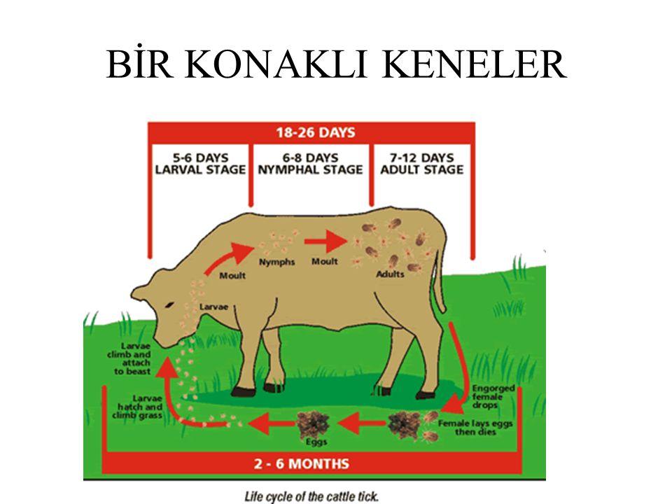 BİR KONAKLI KENELER