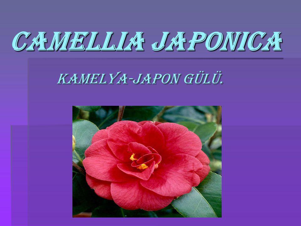 Camellia japonica Kamelya-japon Gülü.