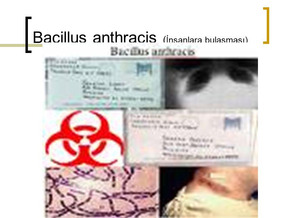 Bacillus anthracis (İnsanlara bulaşması)