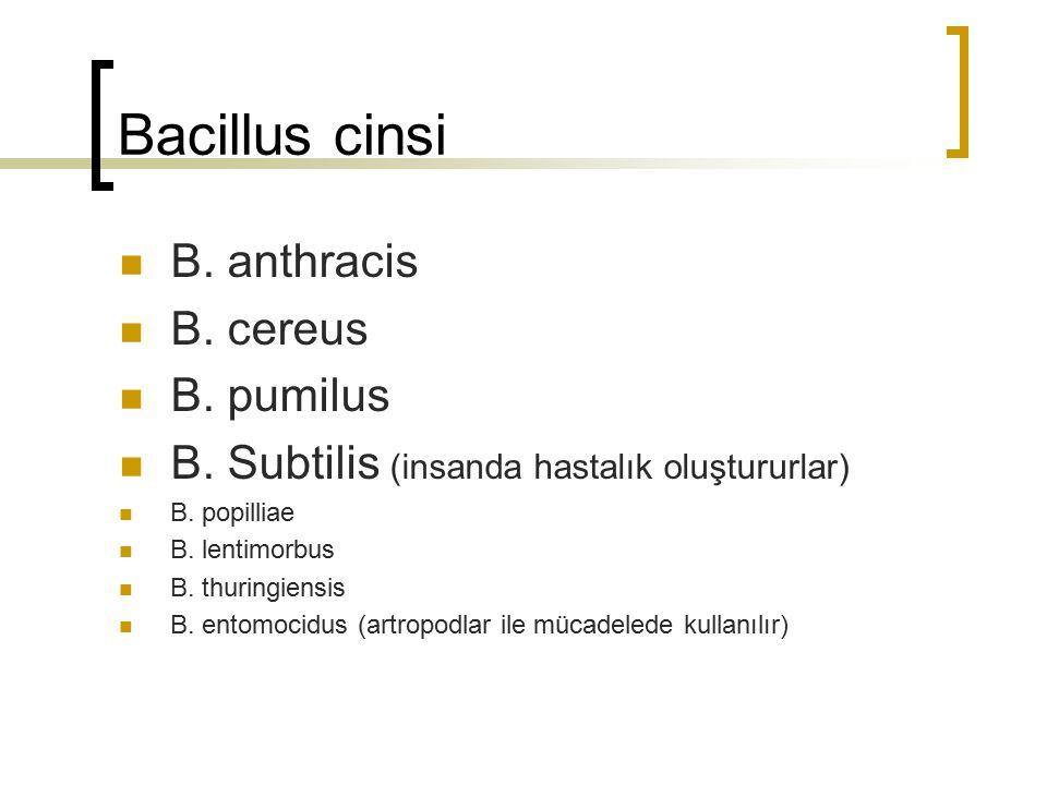 Bacillus cinsi B. anthracis B. cereus B. pumilus