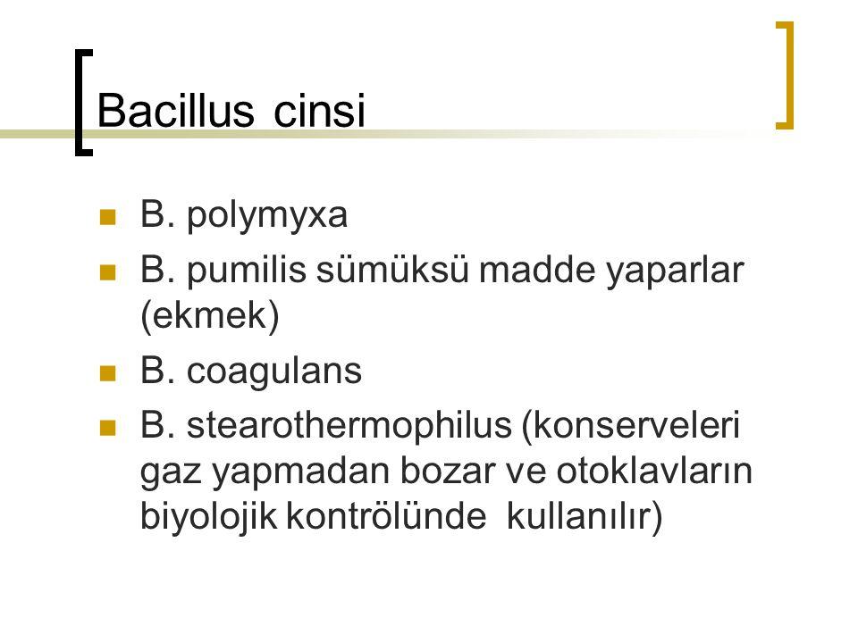 Bacillus cinsi B. polymyxa B. pumilis sümüksü madde yaparlar (ekmek)