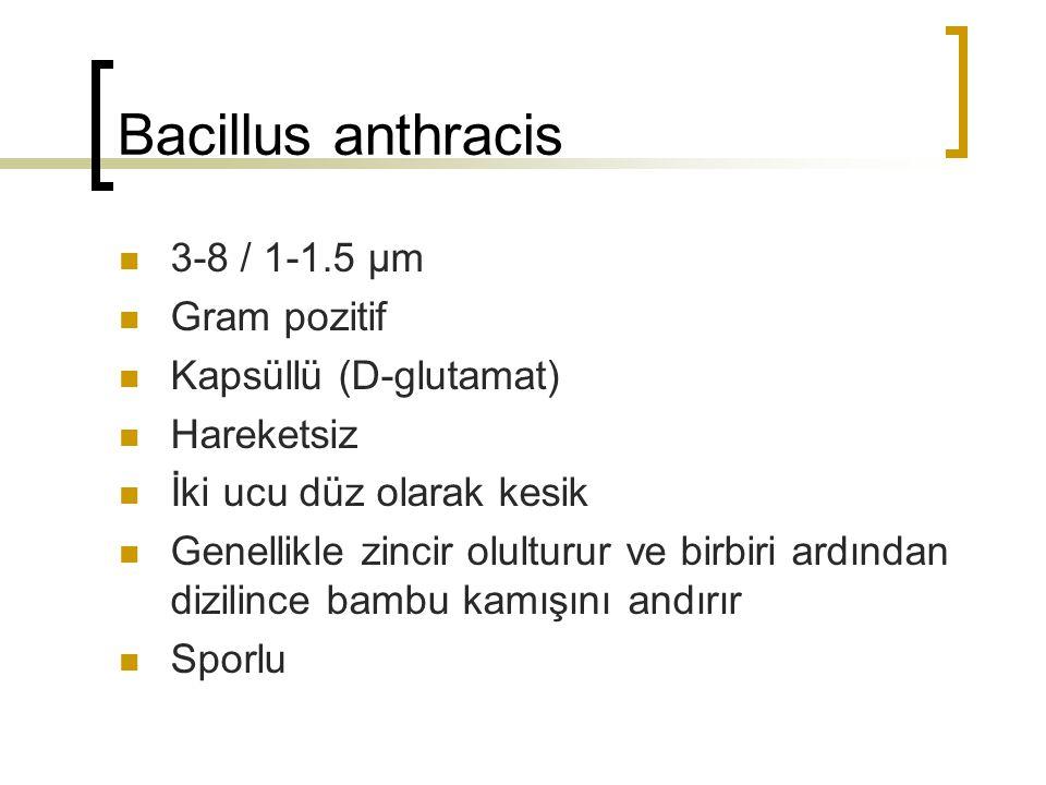 Bacillus anthracis 3-8 / 1-1.5 µm Gram pozitif Kapsüllü (D-glutamat)