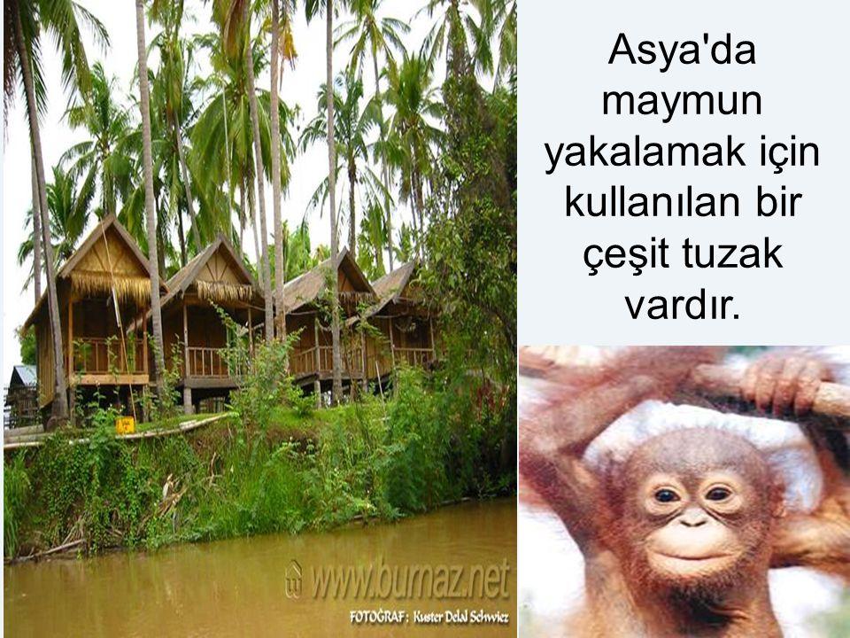 Asya da maymun yakalamak için kullanılan bir çeşit tuzak vardır.