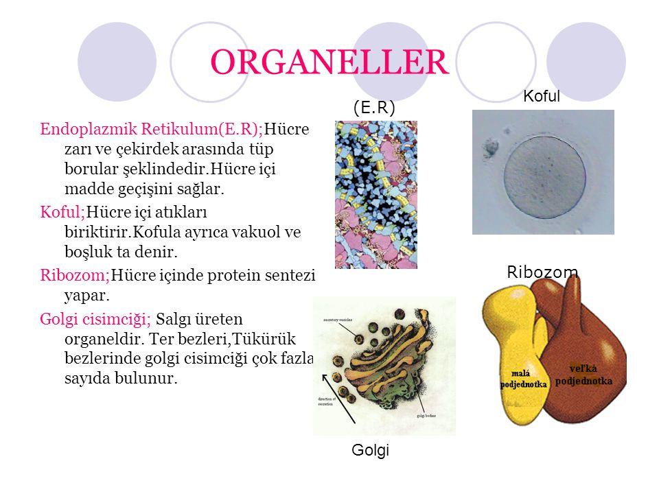 ORGANELLER Koful. (E.R) Endoplazmik Retikulum(E.R);Hücre zarı ve çekirdek arasında tüp borular şeklindedir.Hücre içi madde geçişini sağlar.