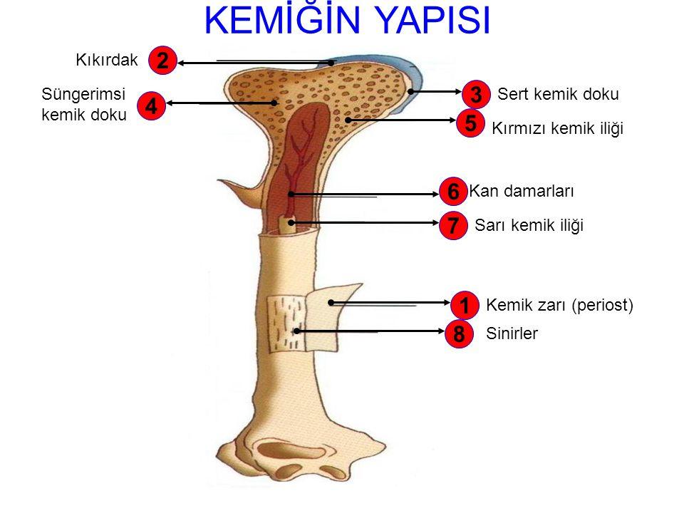 KEMİĞİN YAPISI 2 3 4 5 6 7 1 8 Kıkırdak Süngerimsi kemik doku