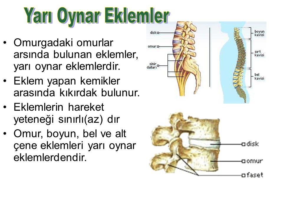 Yarı Oynar Eklemler Omurgadaki omurlar arsında bulunan eklemler, yarı oynar eklemlerdir. Eklem yapan kemikler arasında kıkırdak bulunur.