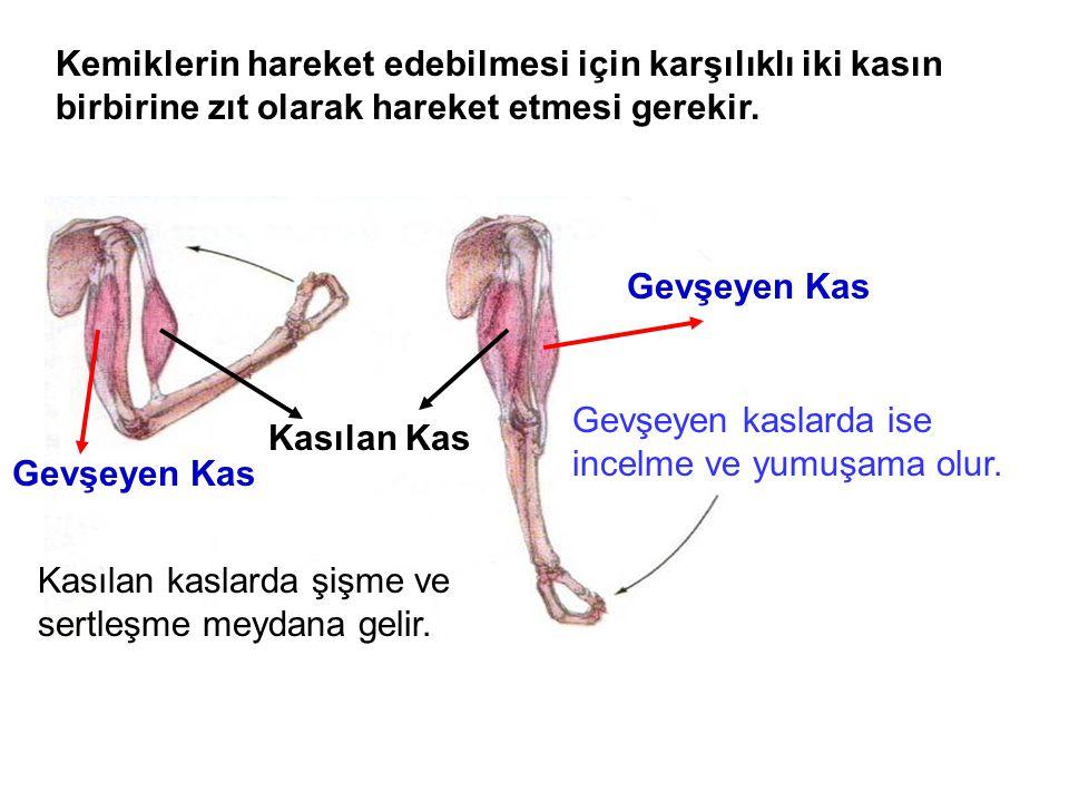 Kemiklerin hareket edebilmesi için karşılıklı iki kasın birbirine zıt olarak hareket etmesi gerekir.