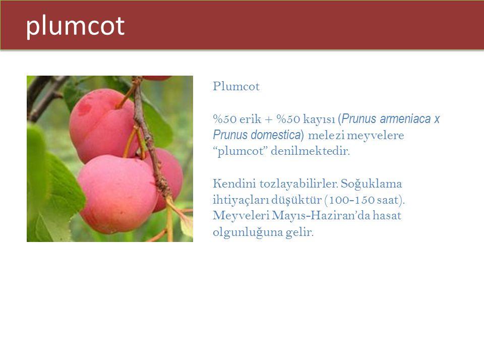 plumcot Plumcot. %50 erik + %50 kayısı (Prunus armeniaca x Prunus domestica) melezi meyvelere plumcot denilmektedir.