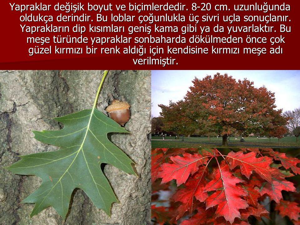 Yapraklar değişik boyut ve biçimlerdedir. 8-20 cm