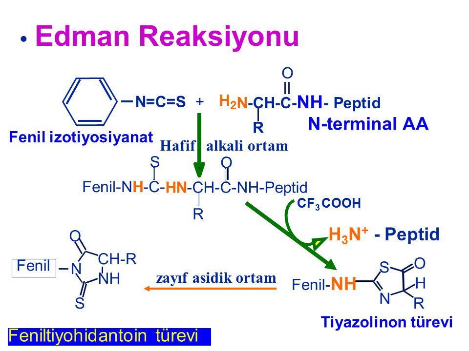 • Edman Reaksiyonu N-terminal AA H3N+ - Peptid