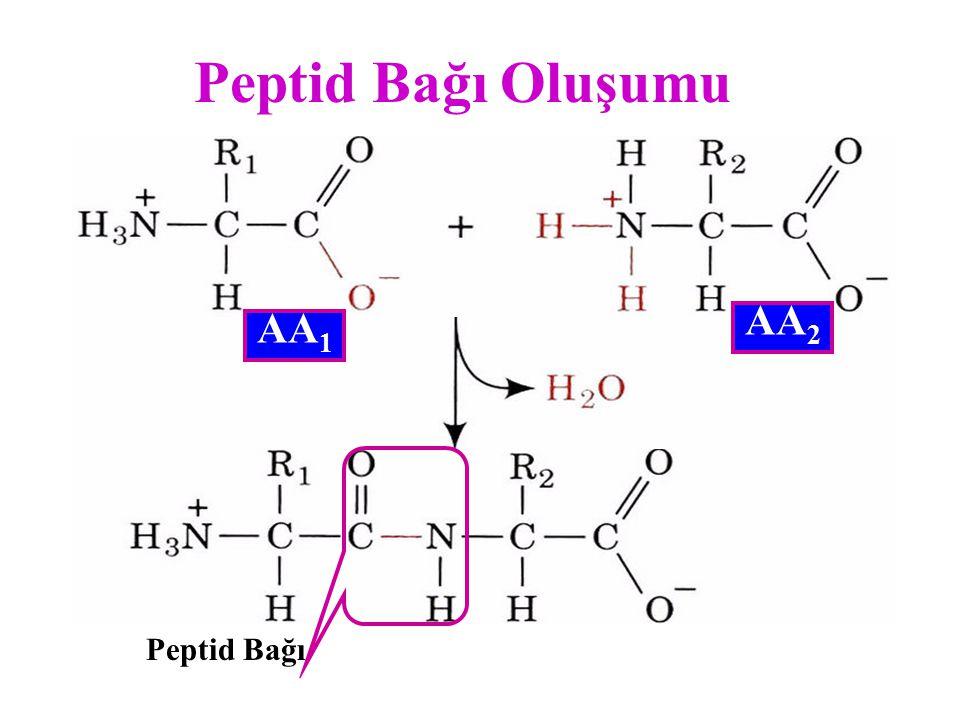 Peptid Bağı Oluşumu AA2 AA1 Peptid Bağı
