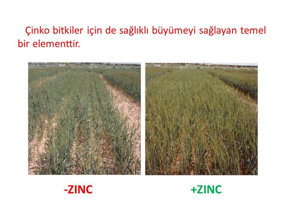 Çinko bitkiler için de sağlıklı büyümeyi sağlayan temel bir elementtir.