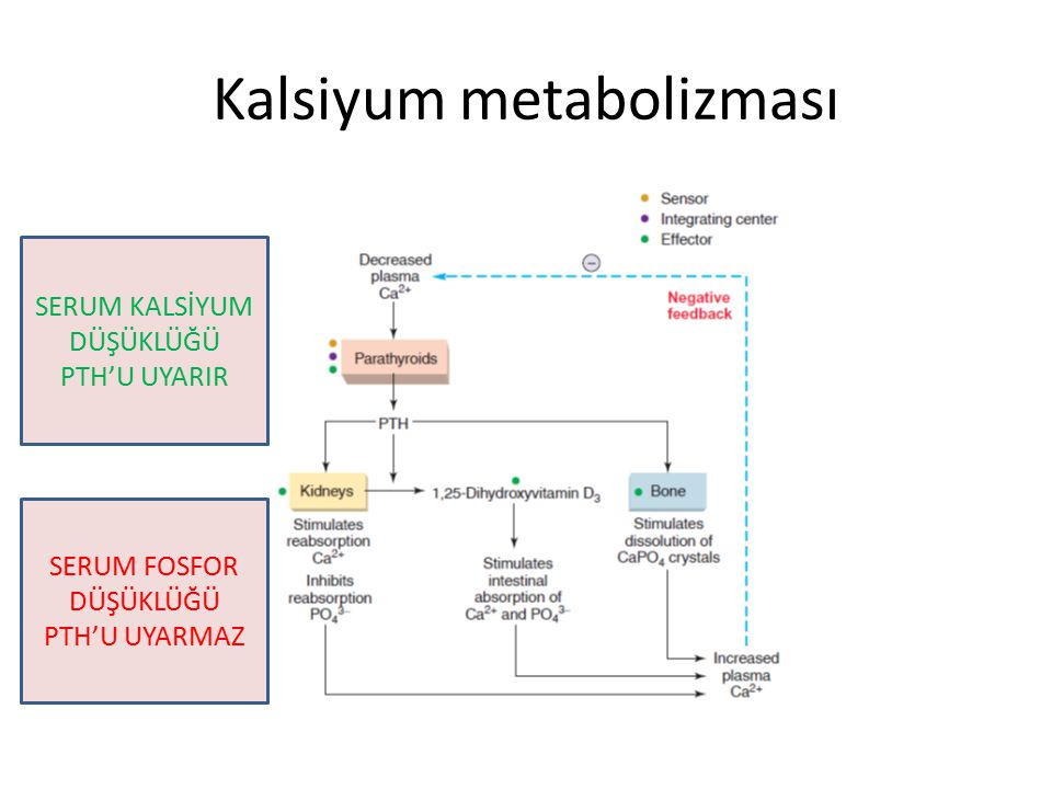 Kalsiyum metabolizması