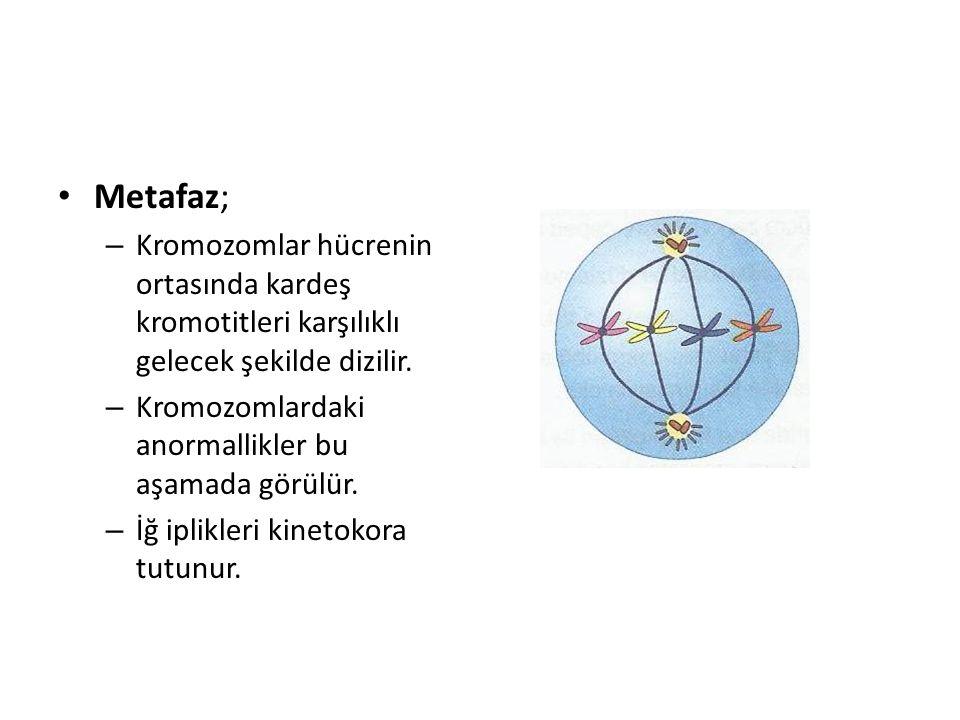 Metafaz; Kromozomlar hücrenin ortasında kardeş kromotitleri karşılıklı gelecek şekilde dizilir. Kromozomlardaki anormallikler bu aşamada görülür.