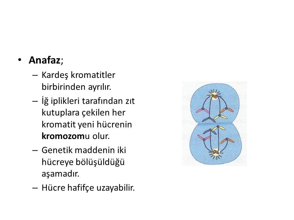 Anafaz; Kardeş kromatitler birbirinden ayrılır.