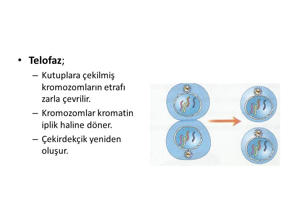 Telofaz; Kutuplara çekilmiş kromozomların etrafı zarla çevrilir.