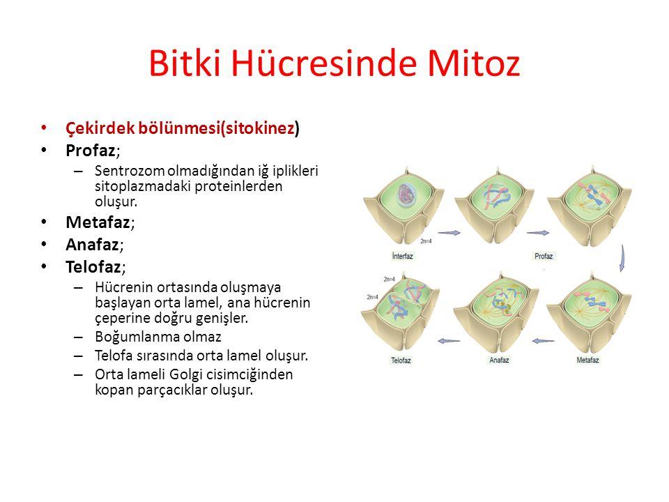 Bitki Hücresinde Mitoz