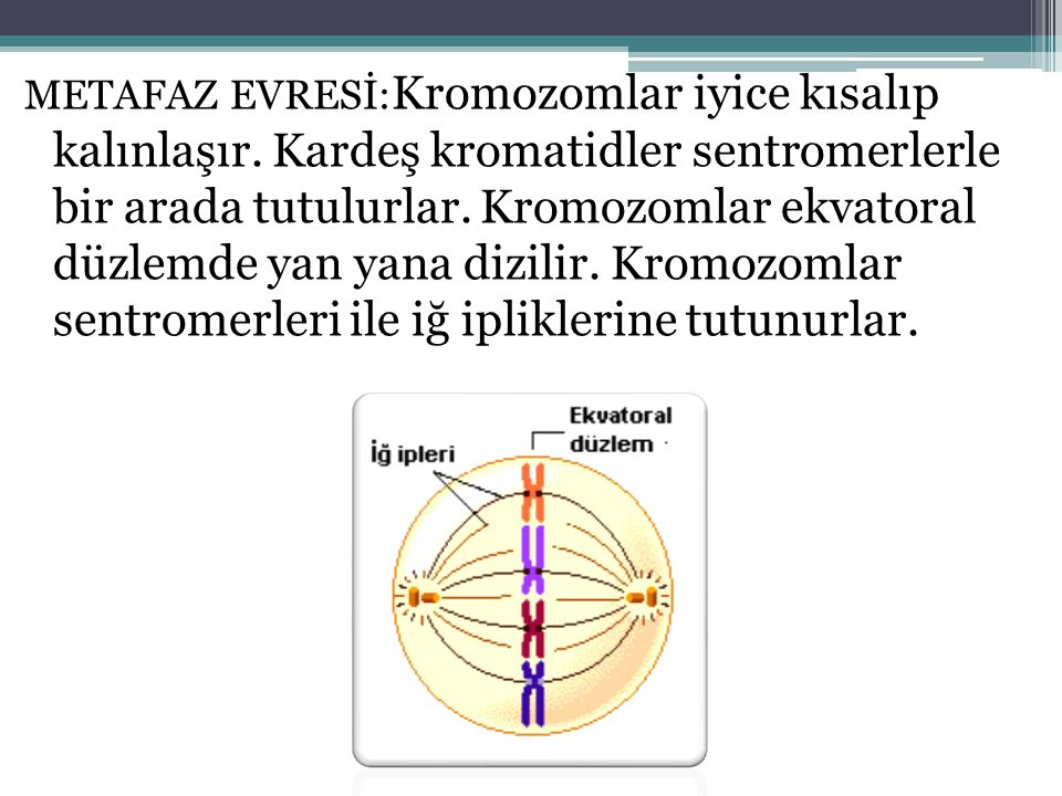 METAFAZ EVRESİ:Kromozomlar iyice kısalıp kalınlaşır