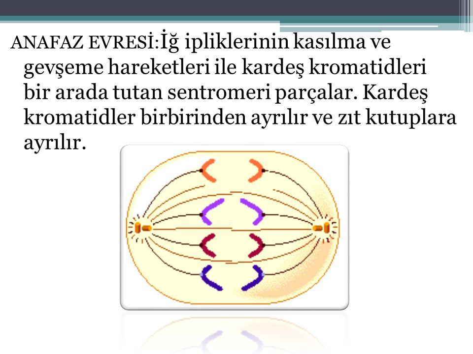 ANAFAZ EVRESİ:İğ ipliklerinin kasılma ve gevşeme hareketleri ile kardeş kromatidleri bir arada tutan sentromeri parçalar.