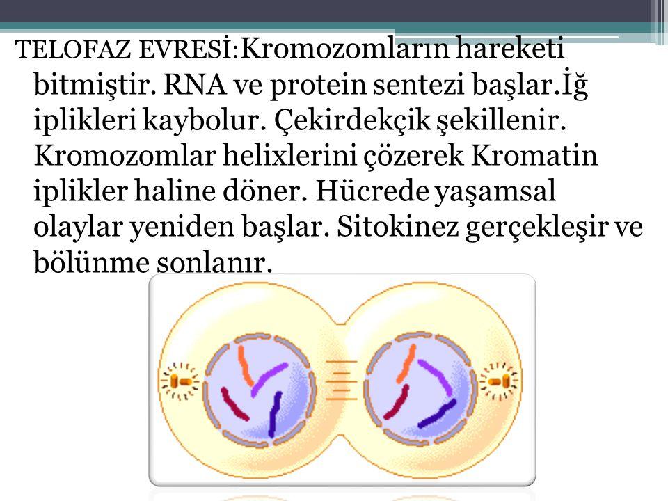 TELOFAZ EVRESİ:Kromozomların hareketi bitmiştir