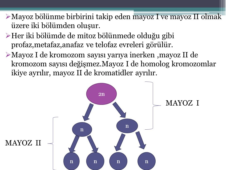 Mayoz bölünme birbirini takip eden mayoz I ve mayoz II olmak üzere iki bölümden oluşur.
