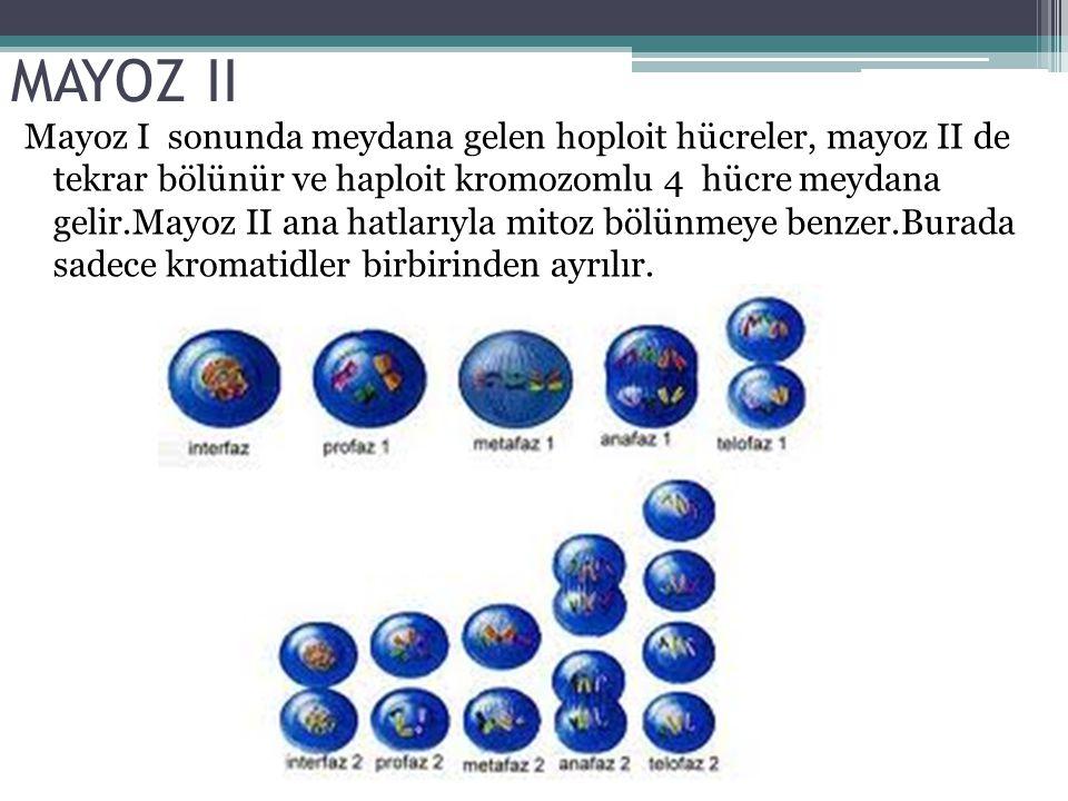 MAYOZ II