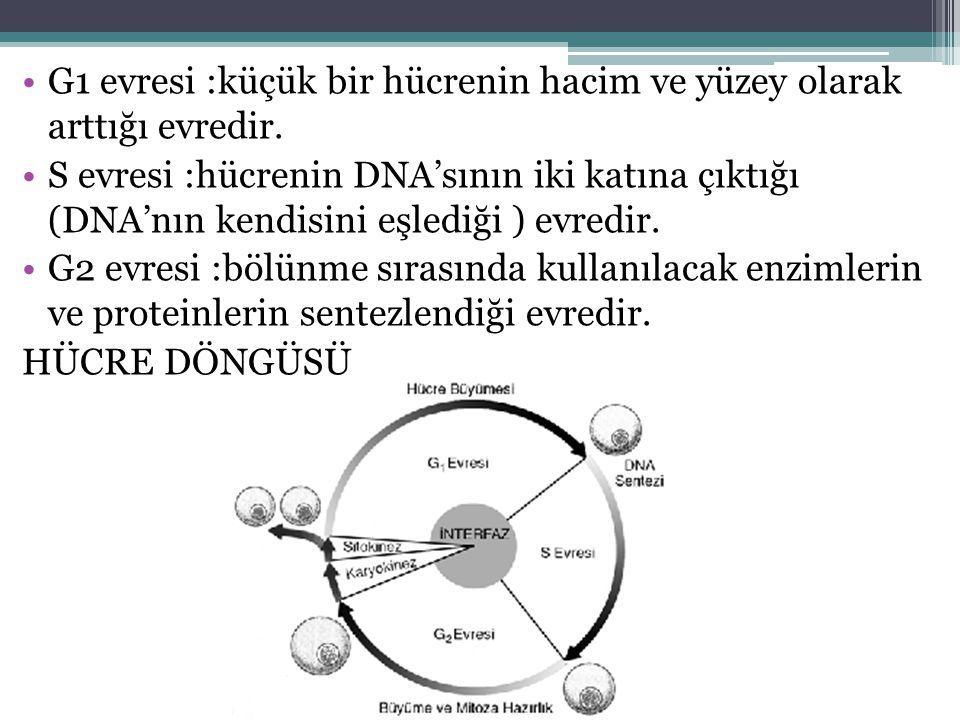 G1 evresi :küçük bir hücrenin hacim ve yüzey olarak arttığı evredir.