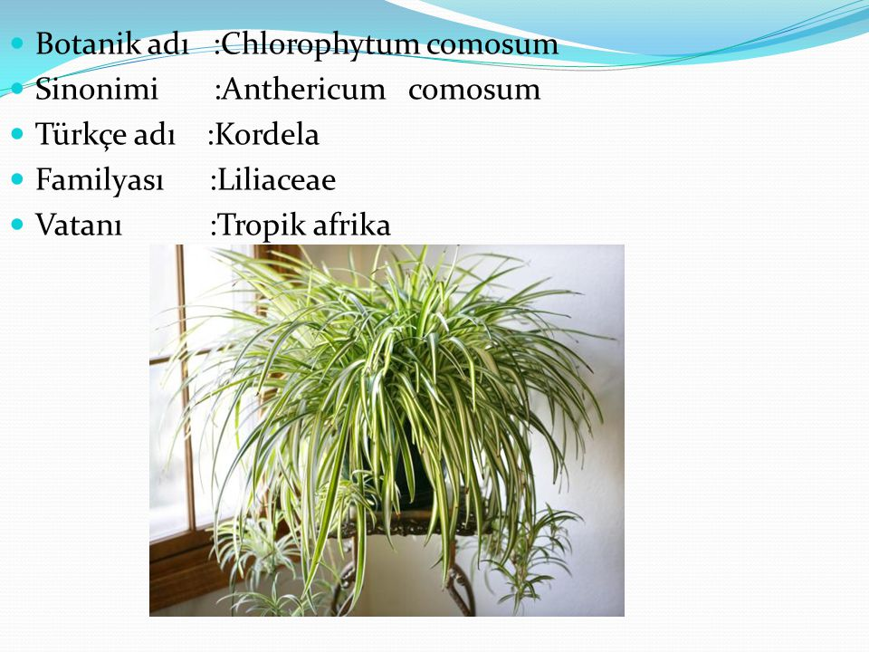 Botanik adı :Chlorophytum comosum