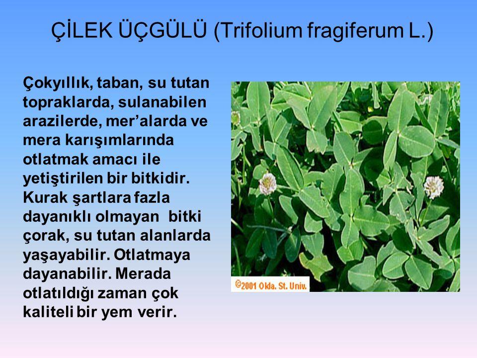 ÇİLEK ÜÇGÜLÜ (Trifolium fragiferum L.)
