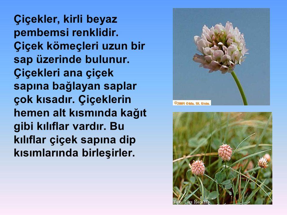 Çiçekler, kirli beyaz pembemsi renklidir