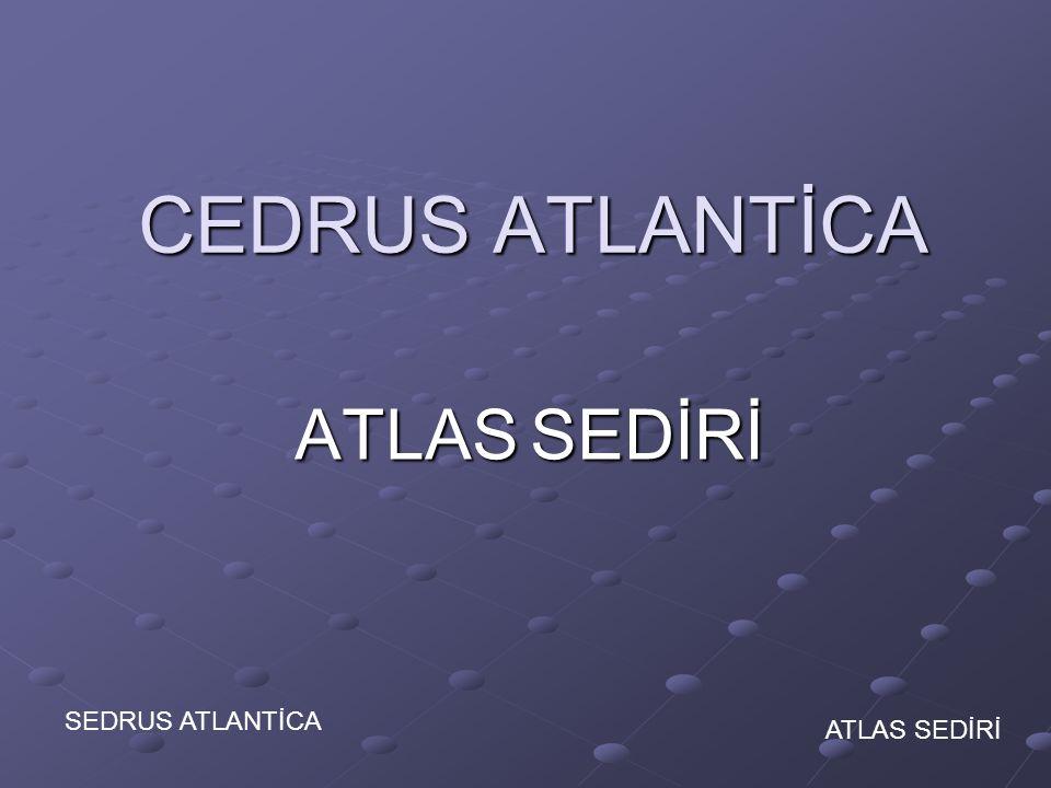 CEDRUS ATLANTİCA ATLAS SEDİRİ SEDRUS ATLANTİCA ATLAS SEDİRİ