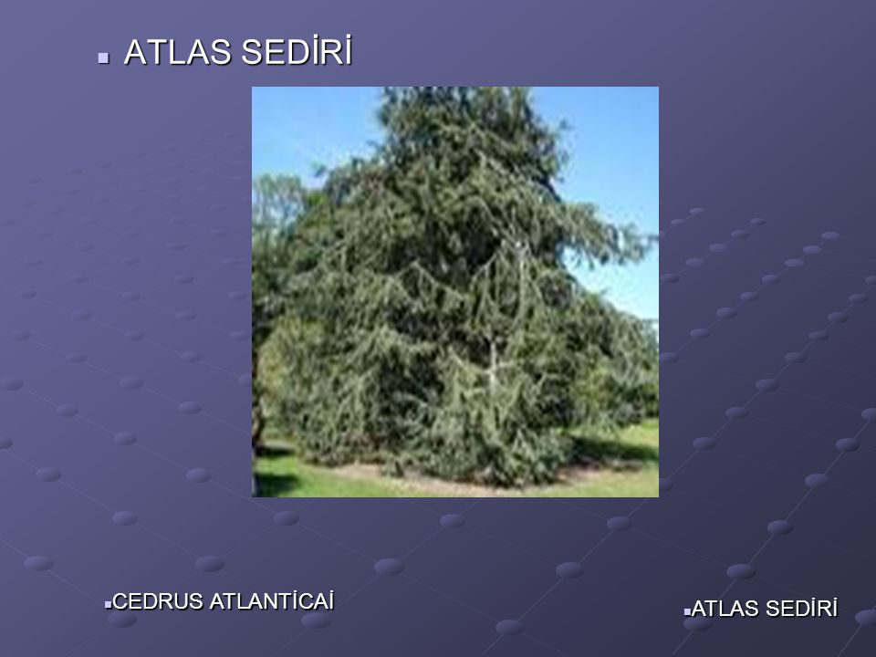 ATLAS SEDİRİ CEDRUS ATLANTİCAİ ATLAS SEDİRİ