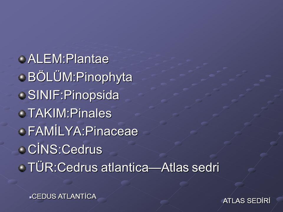TÜR:Cedrus atlantica—Atlas sedri