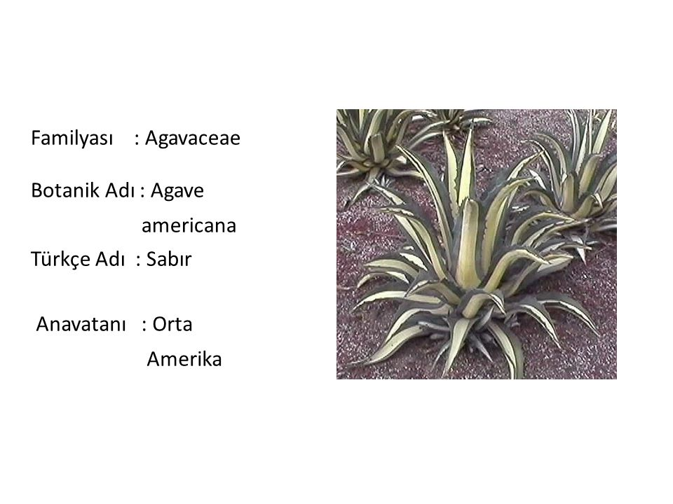 Familyası : Agavaceae Botanik Adı : Agave. americana. Türkçe Adı : Sabır. Anavatanı : Orta.