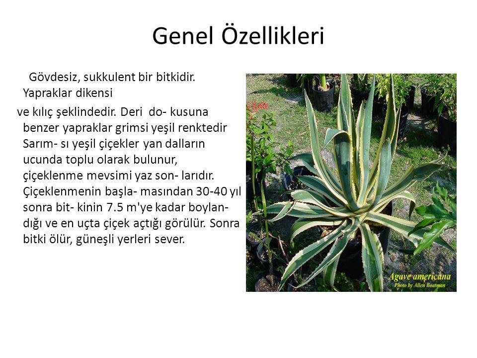Genel Özellikleri Gövdesiz, sukkulent bir bitkidir. Yapraklar dikensi