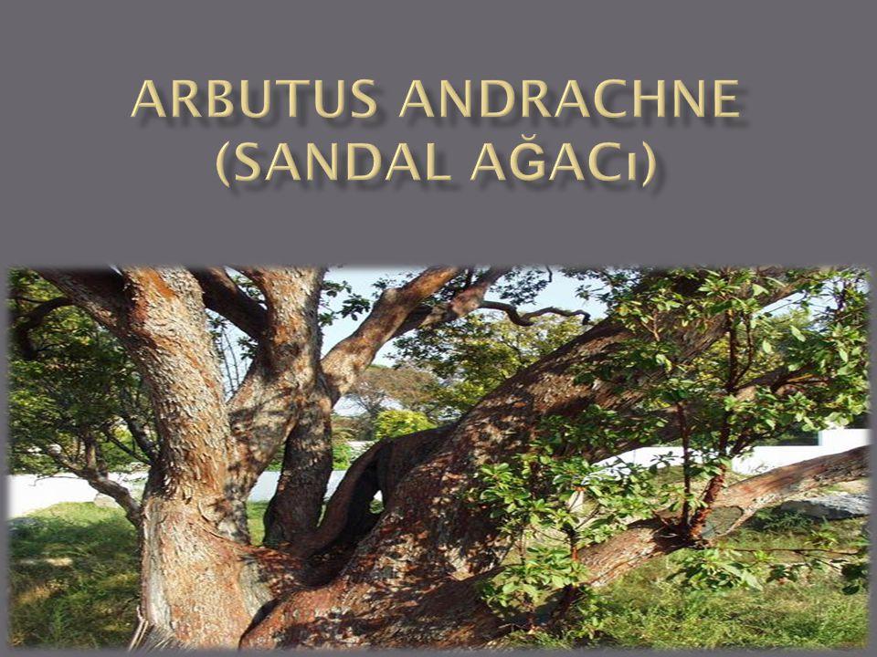 Arbutus andrachne (sandal ağacı)