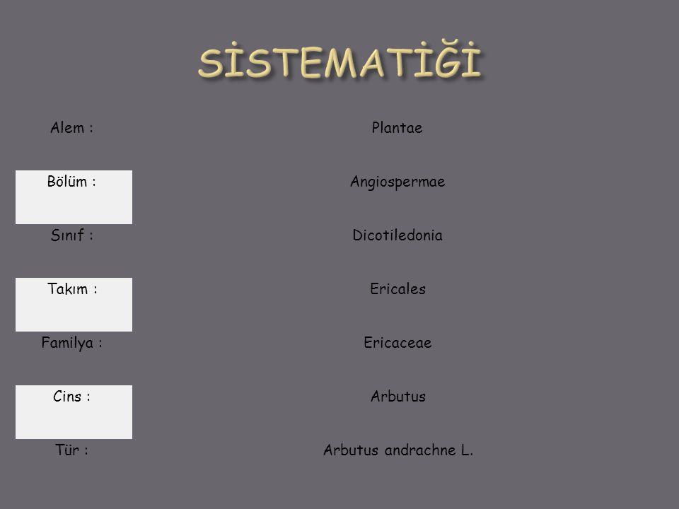 SİSTEMATİĞİ Alem : Plantae Bölüm : Angiospermae Sınıf : Dicotiledonia