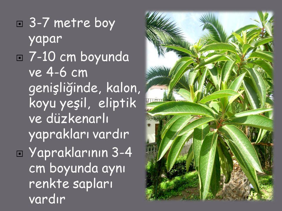 3-7 metre boy yapar 7-10 cm boyunda ve 4-6 cm genişliğinde, kalon, koyu yeşil, eliptik ve düzkenarlı yaprakları vardır.