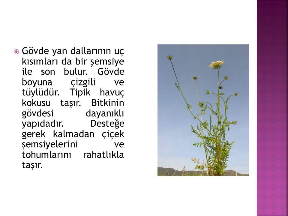 Gövde yan dallarının uç kısımları da bir şemsiye ile son bulur