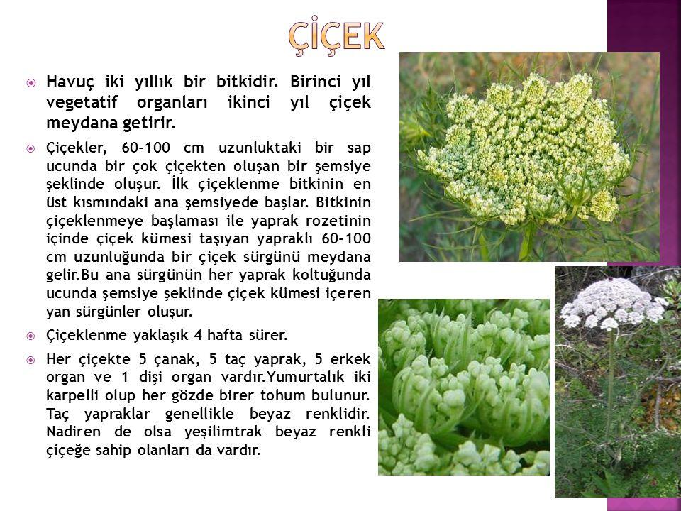 Çİçek Havuç iki yıllık bir bitkidir. Birinci yıl vegetatif organları ikinci yıl çiçek meydana getirir.