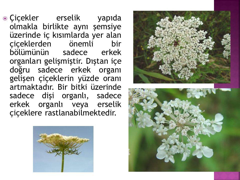 Çiçekler erselik yapıda olmakla birlikte aynı şemsiye üzerinde iç kısımlarda yer alan çiçeklerden önemli bir bölümünün sadece erkek organları gelişmiştir.