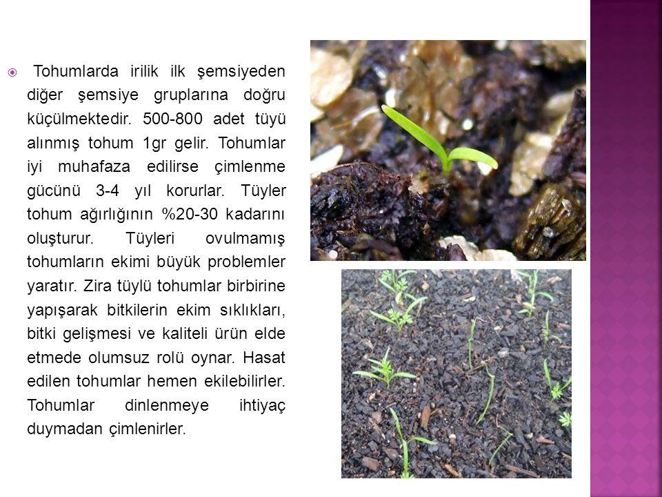 Tohumlarda irilik ilk şemsiyeden diğer şemsiye gruplarına doğru küçülmektedir.