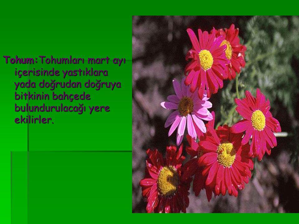 Tohum:Tohumları mart ayı içerisinde yastıklara yada doğrudan doğruya bitkinin bahçede bulundurulacağı yere ekilirler.