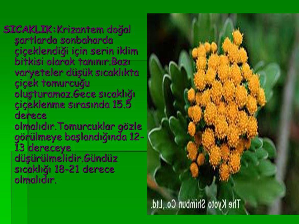 SICAKLIK:Krizantem doğal şartlarda sonbaharda çiçeklendiği için serin iklim bitkisi olarak tanınır.Bazı varyeteler düşük sıcaklıkta çiçek tomurcuğu oluşturamaz.Gece sıcaklığı çiçeklenme sırasında 15.5 derece olmalıdır.Tomurcuklar gözle görülmeye başlandığında 12-13 dereceye düşürülmelidir.Gündüz sıcaklığı 18-21 derece olmalıdır.