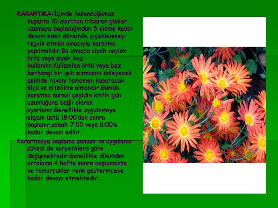 KARARTMA:İçinde bulunduğumuz kuşakta 10 marttan itibaren günler uzamaya başladığından 5 ekime kadar devam eden dönemde çiçeklenmeyi teşvik etmek amacıyla karatma yapılmalıdır.Bu amaçla siyah naylon örtü veya siyah bez kullanılır.Kullanılan örtü veya bez herhangi bir ışık sızmasını önleyecek şekilde tavanı tamamen kapatacak ölçü ve nitelikte olmalıdır.Günlük karatma süresi çeşidin kritik gün uzunluğuna bağlı olarak ayarlanır.Genellikle uygulamaya akşam üstü 18:00'dan sonra başlanır,sabah 7:00 veya 8:00'e kadar devam edilir.