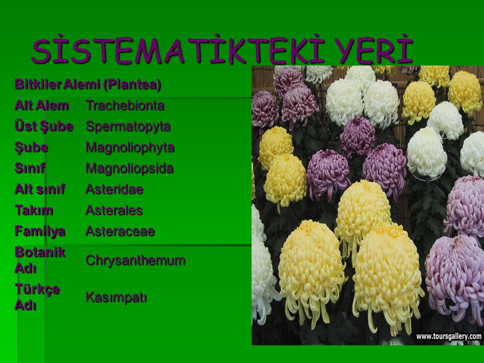 SİSTEMATİKTEKİ YERİ Bitkiler Alemi (Plantea) Alt Alem Trachebionta