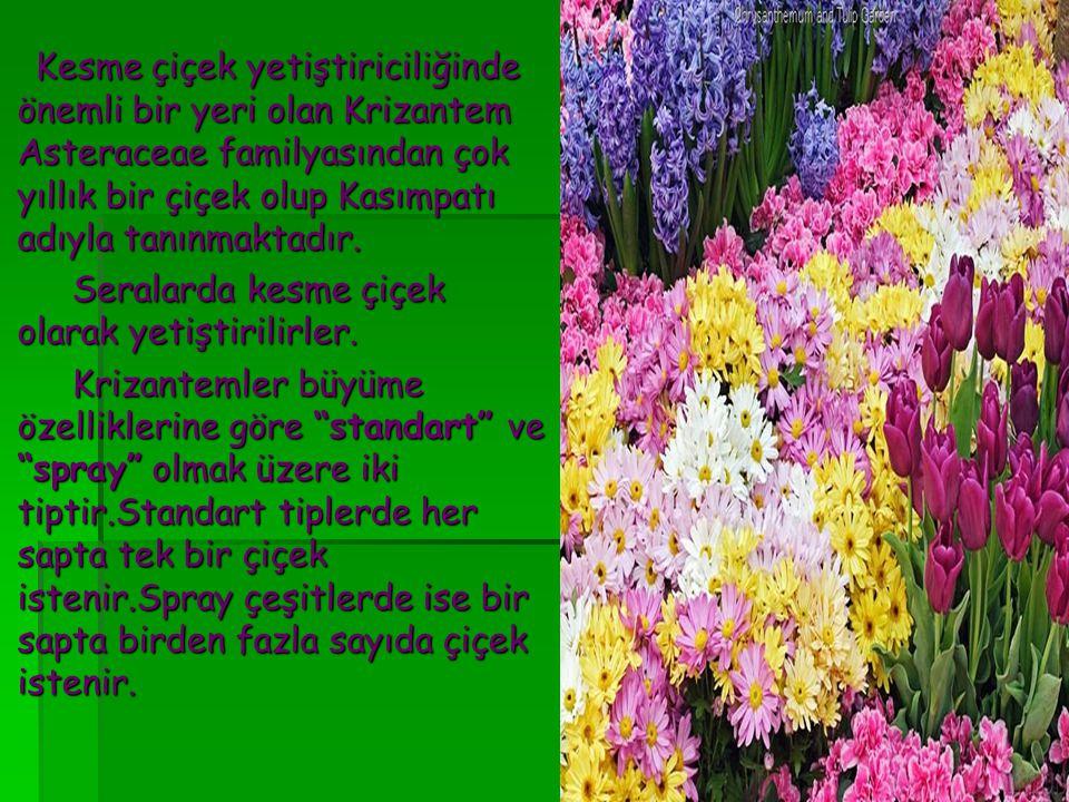 Seralarda kesme çiçek olarak yetiştirilirler.