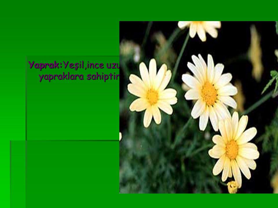 Yaprak:Yeşil,ince uzun yapraklara sahiptir.