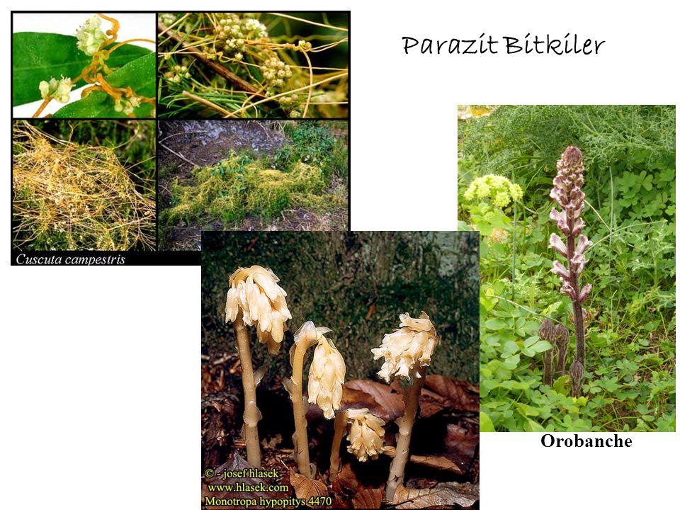 Parazit Bitkiler Orobanche