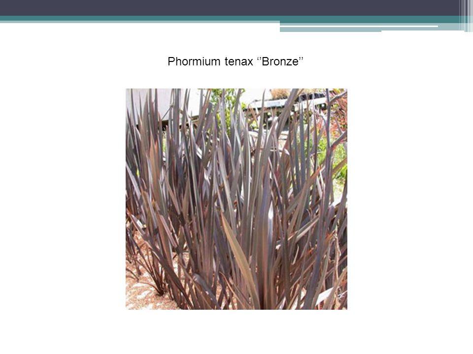 Phormium tenax ''Bronze''